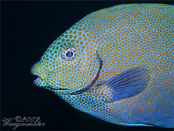 Gold spotted Rabbitfish (Siganus chrysospilos) - Tulamben... by Marco Waagmeester