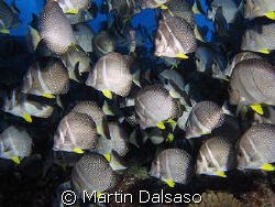 White-Spotted Surgeonfish schooling in a surge zone @ 20 ... by Martin Dalsaso