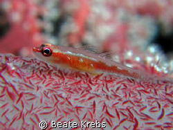 Very small Gobi on a softsoral, taken at Wakatobi with my... by Beate Krebs