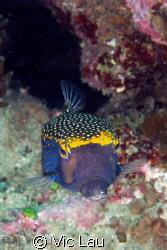 cutie box fish by Vic Lau
