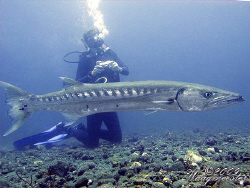 Huge Great Barracuda (Sphyraena barracuda) - Tulamben, Ba... by Marco Waagmeester