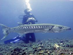 Huge Great Barracuda (Sphyraena barracuda) - Tulamben, Ba... by Marco Waagmeester