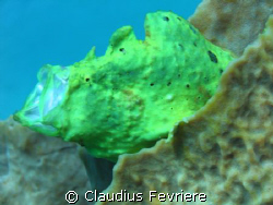 Frogfish by Claudius Fevriere