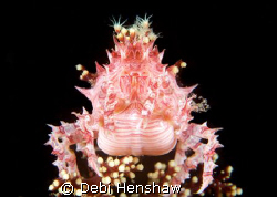 Found this cute Candy Crab happy to pose for me (Not Crop... by Debi Henshaw
