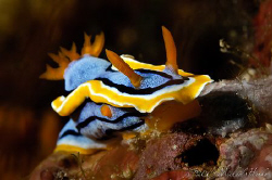 Chromodoris annae - Nikon D300, 105mm, no crop, 1/30 sec ... by Michael Henke