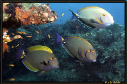 Surgeon Fish showing of colours at cleaner station! (they... by Allen Walker