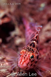 short-snout Hawk fish. by Allen Lee