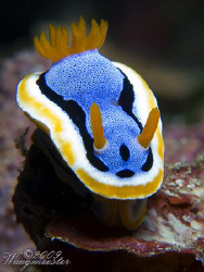 Annae on stage (Chromodoris annae) - Crystal Bay, Bali (C... by Marco Waagmeester