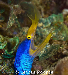 Blue Ribbon Eel by Larissa Roorda