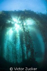 kelp light by Victor Zucker