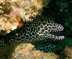 Spotted Moray saying Hi! by Alex Lim
