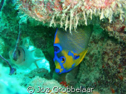 French Anglefish by Joz Grobbelaar
