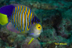 Royal Angelfish @ Anilao by Taco Cheung