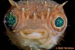 Porcupinefish totally unphased by me sticking my D200 in ... by Debi Henshaw