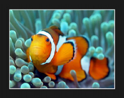 Clownfish by Stuart Ganz