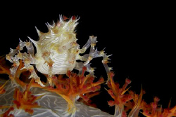 Candy Crab off Batangas, Philippines. Casio Exilim by Andrew Macleod