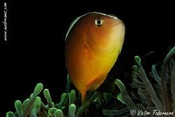 Clown Fish by Victor Tabernero