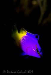 Fairy Basslet-Bonaire-Canon 5D by Richard Goluch