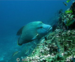 Napolean Wrasse by Alex Lim