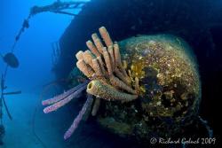 Sponges on Hilma Hooker-Bonaire by Richard Goluch