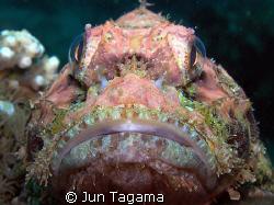 Fat Head Stonefish by Jun Tagama