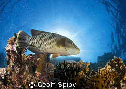 Napoleon wrasse backlit by the sun