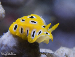 Very small 'Phyllidia' sea slug (approx 5mm) - Sanur, Bal... by Marco Waagmeester