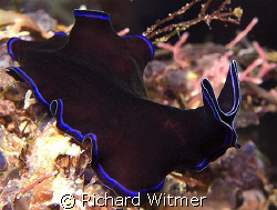 To the Batmobile!  Pseudoceros sapphirinus. Anilao, Phili... by Richard Witmer