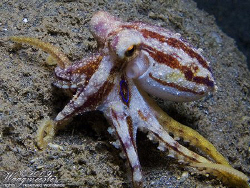 Poison Ocellate Octopus (Octopus mototi) - Amed, Bali (Ca... by Marco Waagmeester