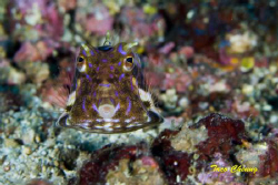 Boxfish @ Anilao by Taco Cheung
