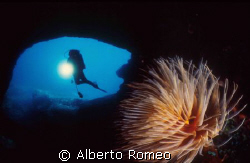 Spirographis spallanzani  AND A DIVER IN THE CAVE
