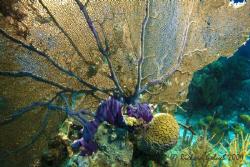 Gorgonian Sea Fan-Bonaire by Richard Goluch