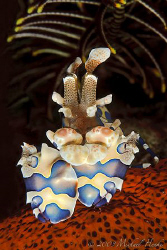 Harlequin shrimp by Michael Henke