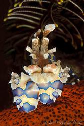 Harlequin shrimp by Michael Henke