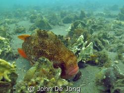 Cyclopterus lumpus male. In his neigbourhood we found his... by John De Jong