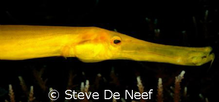 Yellow trumpetfish by Steve De Neef