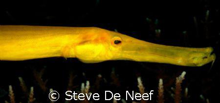 Yellow trumpetfish by Steve De Neef