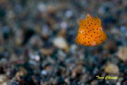Baby Boxfish @ Anilao by Taco Cheung