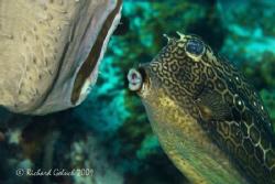 Honeycomb Cowfish feeding on the sponge-Bonaire by Richard Goluch
