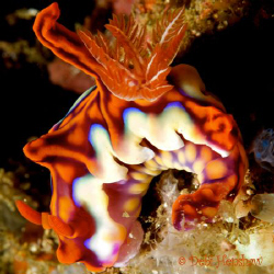 Ceratosoma magnificum or just plain Tooty Fruity! Shot in... by Debi Henshaw