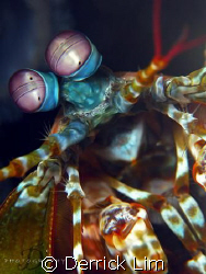 Peacock Mantis Shrimp, it welcoming me when I ring it's d... by Derrick Lim