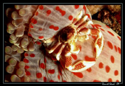 Porceleine crab and his host anemone :-) great FUN by Daniel Strub