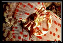 Porceleine crab and his host anemone :-) great FUN by Daniel Strub
