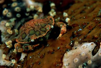 Sea cumber crab on sea cucumber. F100 , 105 & wet diopter by Gregory Grant