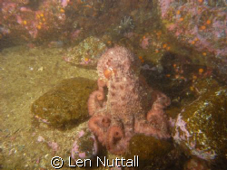 Octupus at  Rebbeca Rock, Powell River BC CANADA. by Len Nuttall