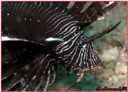 Lion Fish.... Jana Island \ Saudi Arabia with Olympus C8... by Mohammed Al Hamood