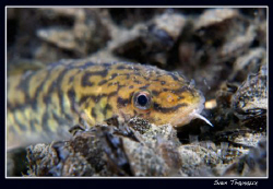 A hunting burbot (Lota lota) on last Wednesday night dive by Sven Tramaux