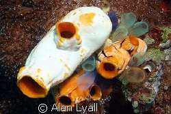 A collection of sea squirts - Canon EOS350D; EF-S 18-55mm... by Alan Lyall