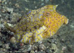 Thorn-back cowfish. Lembeh. D200, 60mm. by Derek Haslam