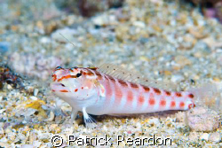Redspotted sandperch.  Forward facing spine is not depict... by Patrick Reardon